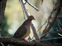 Backlit Mourning Dove on a Branch stock photos