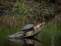 Painted Turtle Alone on a Log. Taken in Michigan. The state`s reptile, a painted turtle lounging on a log in a pond stock image