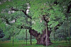 The Great Oak: `England`s Most Famous Tree` royalty free stock photo