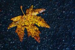 The maple leaf. Taken from nainital uttarakhand india royalty free stock photos