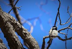 Perched Carolina Chickadee royalty free stock photography