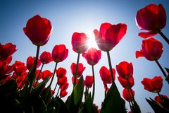 Beautiful red tulip flowers shot from under with the sun shining in the background. royalty free stock photography