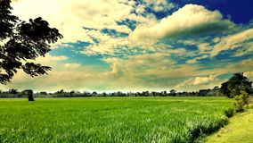 PADDY FIELD NEW HD. This picture is taken from kushtia, Bangladesh. New hd picture 2018. The picture is full of green field, shadow leaf and blue sky with Stock Image