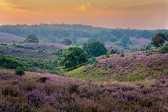 Heather in Bloom. Taken at the Posbank, the Veluwe, the Netherlands Royalty Free Stock Image