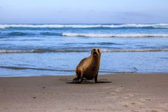 Sea lion comming out of the ocean at Allans beach royalty free stock photo
