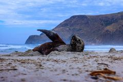 Sea lion waving, resting and sunbathing at Allans beach. Taken at Saunders cape near Dunedin in southern New Zealand royalty free stock photos