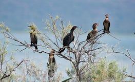 Family of five Pgymy Cormorants within the Vrana Lakes Nature Park, Croatia. stock image