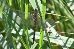 Dragonfly camouflaged in reed bed at Rainham Marsh, Essex. stock image