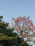 A kapok tree in blossom royalty free stock image