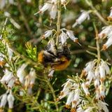 Bumblebee on the white flowers stock photos