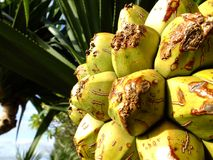 Tropical fruit of the razor leaf. royalty free stock images