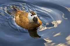 White headed duck, swimming forwards, in North West wetlands. royalty free stock photography