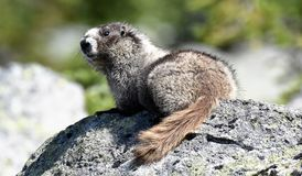 Hoary Marmot portrait in Whistler Mountains, British Columbia, Canada. stock image