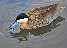 Puna teal, in North West wetlands. Taken to capture the lively alertness and glistening blue beak of a Puna teal, living within managed wetlands, in the north stock image