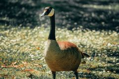 Goose in Meadow stock images