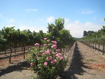 Grape Vines. This is taken in a winery close to Solvang, California & is beautifully landscaped with pink rose bushes at the end of each row of gape vines Stock Image