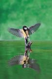 Takeoff. Great tit off and reflected in the water Royalty Free Stock Images