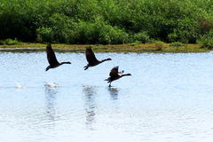 The Takeoff - 2. Three geese taking off from a wildlife sanctuary pond stock photos