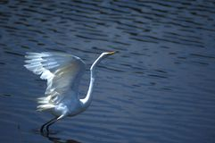 Takeoff. Egret taking off Royalty Free Stock Image
