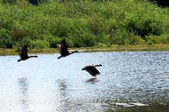 The Takeoff - 4. Three geese taking off from a wildlife sanctuary pond stock photography