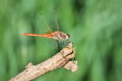 Takeoff. Dragonfly before takeoff royalty free stock image