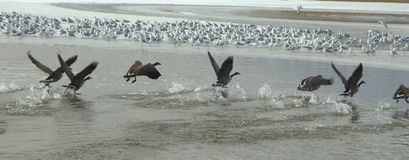 Takeoff from lake surface. Birds taking off from a lake surface in Colorado Royalty Free Stock Photo