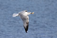Takes the Biscuit. A ring-billed gull flying over a lake with a biscuit in it`s beak Stock Photos