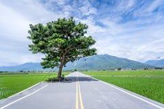 Takeshi Kaneshiro tree at Brown Avenue with beautiful paddy. Field, Chishang, Taitung, Taiwan royalty free stock photo