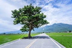 Takeshi Kaneshiro tree at Brown Avenue with beautiful paddy. Field, Chishang, Taitung, Taiwan royalty free stock image