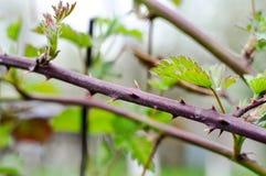 Takhoogtepunt die van doornen met groene bladeren, op een weide groeien royalty-vrije stock afbeelding