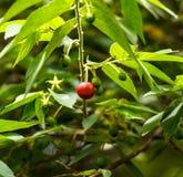 Takhop pak (thai name), Governor's plum (Flacourtia indica (Burm Royalty Free Stock Photos