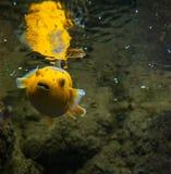 Takifugu rubripes (dog-fish) yellow with black spots in an aquarium Gdynia, Poland Royalty Free Stock Photography