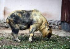 Takin στο ζωολογικό κήπο της Μόσχας Στοκ Εικόνα