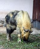 Takin στο ζωολογικό κήπο της Μόσχας Στοκ Φωτογραφίες