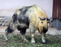 Takin στο ζωολογικό κήπο της Μόσχας Στοκ Εικόνες