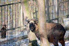 Takin. Is a protected species of ungulates Stock Photography