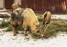 Takin also called cattle chamois or gnu goat Stock Photos