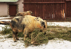 Takin also called cattle chamois or gnu goat Royalty Free Stock Photography
