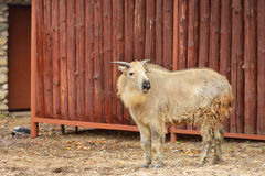 Takin, also called cattle chamois or gnu goat. Is goat-antelope found in eastern Himalayas Stock Image