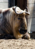 Takin animal portrait. Portrait of a Large male Takin, a native of china Royalty Free Stock Photo