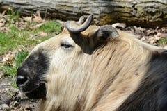 A Takin Antelope In Profile Stock Photos