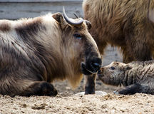 Takin baby kisses dad Royalty Free Stock Photo