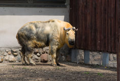 Takin (Budorcas taxicolor) Royalty Free Stock Image
