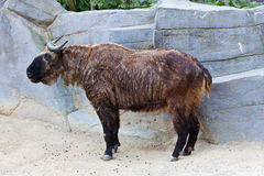 Takin. A takin (Budorcas taxicolor), also called cattle chamois or gnu goat, the national animal of Bhutan Royalty Free Stock Photography