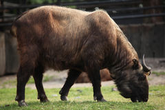 Takin (Budorcas taxicolor) Royalty Free Stock Photo