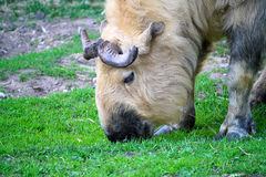 Takin (Budorcas taxicolor) on nature background. Zoo Stock Photography