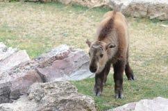 Takin calf. A young takin calf walks among some large rocks Stock Image