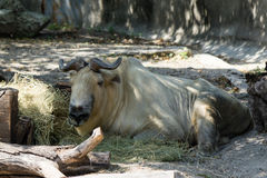 Takin chinese cattle Royalty Free Stock Photos