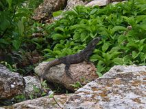 Takin da iguana que toma sol México Imagem de Stock