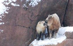 Takin de la madre y del bebé en nieve Fotos de archivo libres de regalías